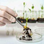 Cocinar con cultivos transgénicos